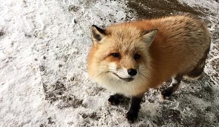 与100只狐狸来场浪漫的约会吧──「宫城藏王狐狸村」交通玩法攻略!